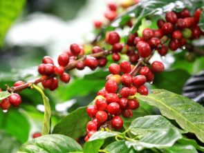 Arabica vs Robusta: What's the difference and how does it impact your morning coffee?